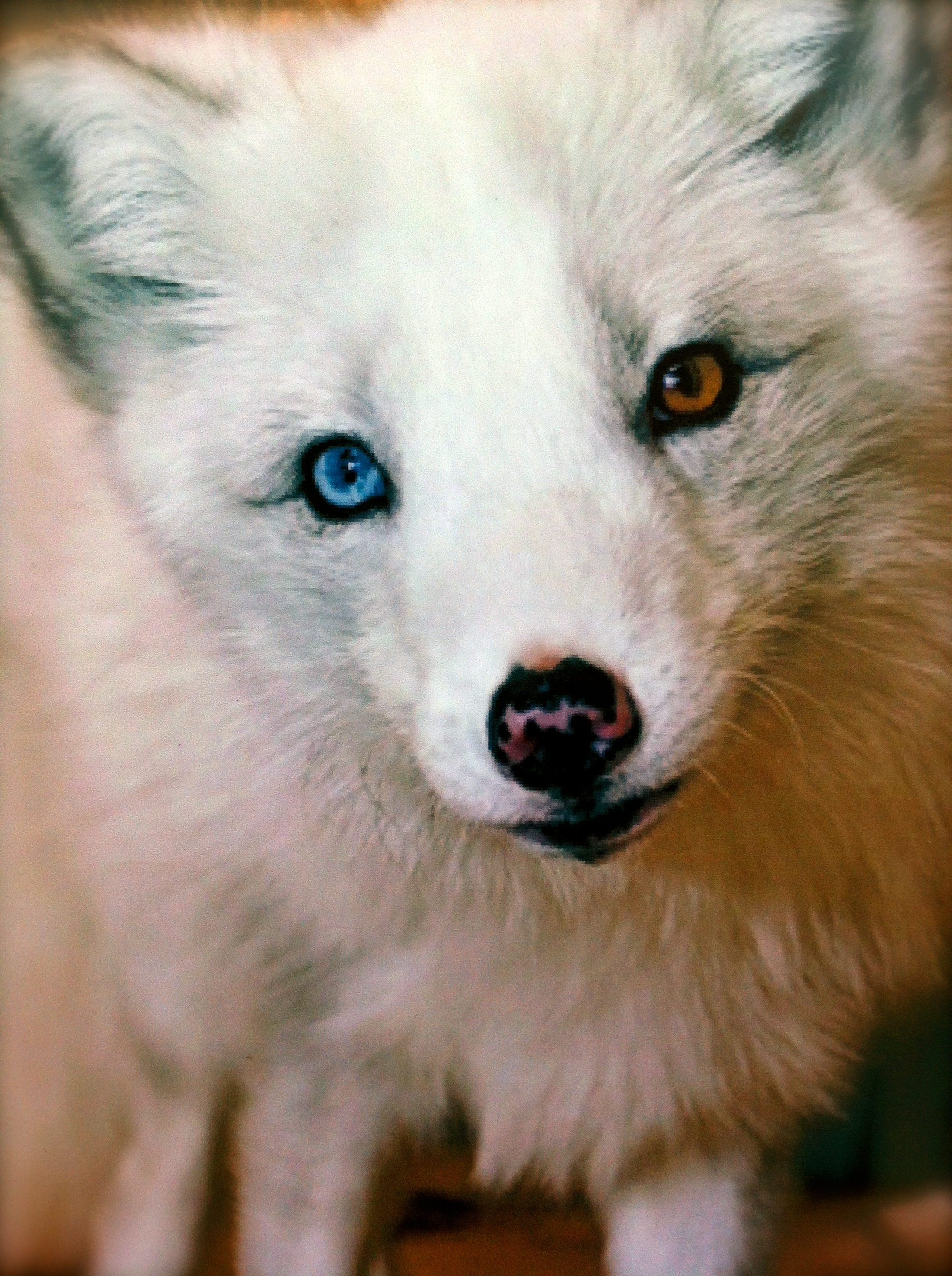 Arctic Fox With Blue Eyes