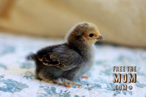 buff-brahma-chick