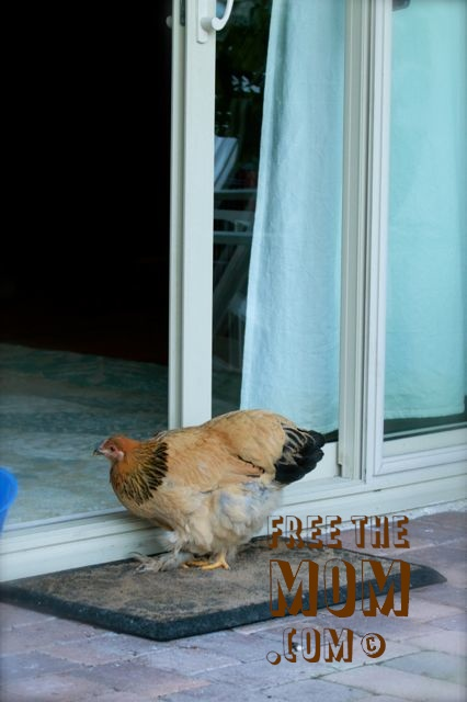 chicken-at-the-door