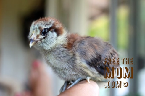 easter-egger-chick