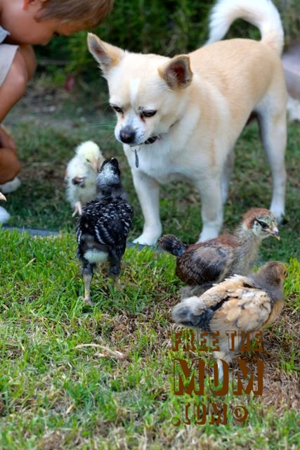 chicken-and-chihuahua