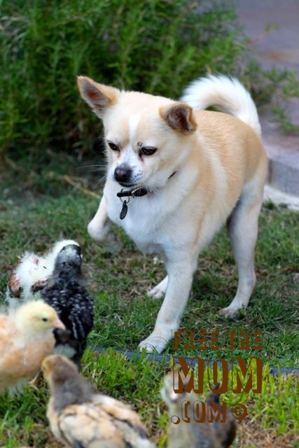 chicken-pecks-dog