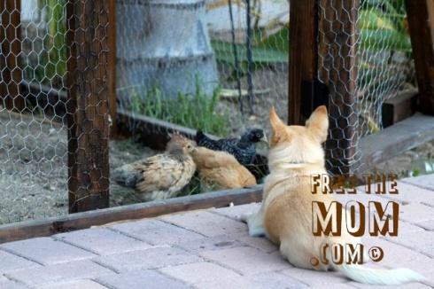 chicken-watchdog-2